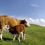 Zašto krava i tele ne bi trebali dugo ostati zajedno?