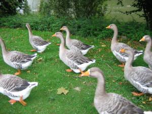 Geese_Fruggo02