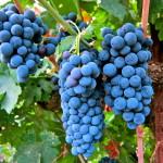 Posebne sorte vinove loze za crvena vina