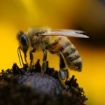 Ponašanje pčela tokom zime