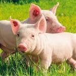 Odgoj prasadi najvažnija faza u tovljenju svinja