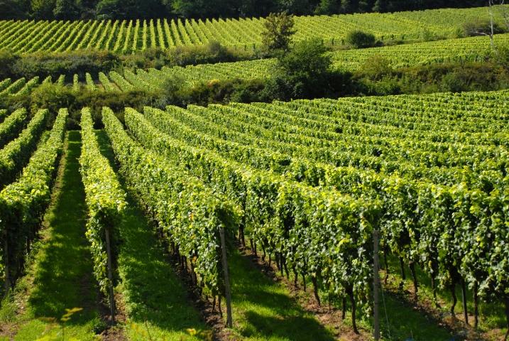 vinograd_pokrajinska