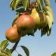 Rodne grane kruške – kako orezati voćku