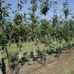 Bibaum sistem gajenja voćaka