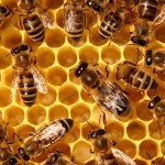 Zeolit sprečava uginuće pčelinjih zajednica