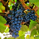 Syrah – širaz – vino koje vlada vinskim svetom