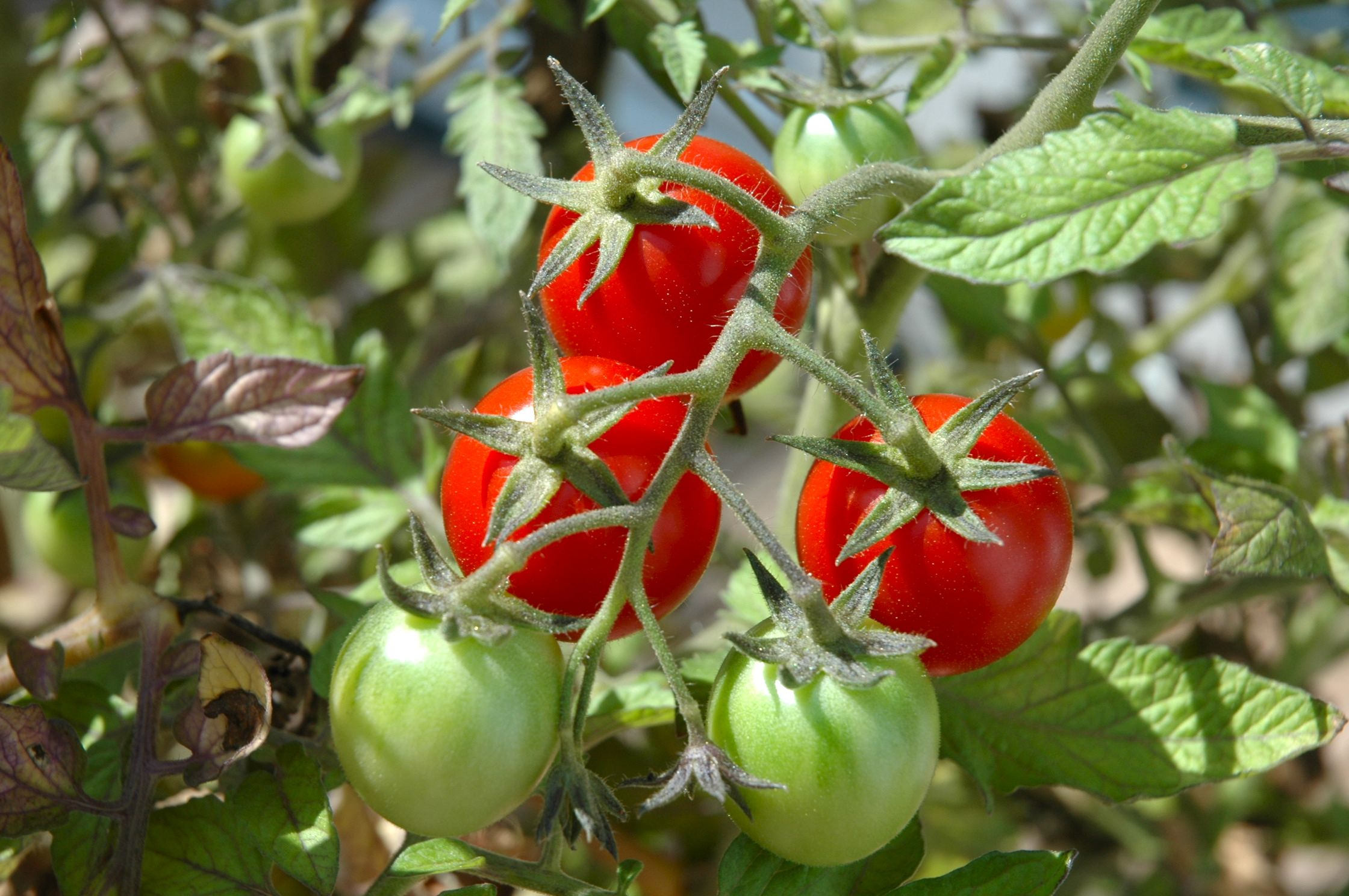The-Taste-Revelation-tomatoes