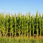 KOROVI u kukuruzu nakon njihovog nicanja