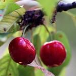 Rezidba trešnje i višnje pomaže rod
