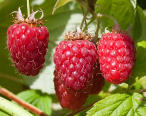 Brun-garden-with-Tulameen-red-raspberries-July-15-2011-137462-a