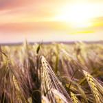 Pšenica spelta za bolju zaradu !