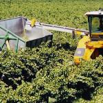 Odredjivanje vremena i pravila u berbi grožđa
