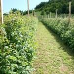 Priprema zemljišta za sadnju Maline