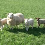 Obavezna pravila u Jagnjenju Ovaca