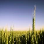 Prihranjivanje pšenice kad kako !! ??????