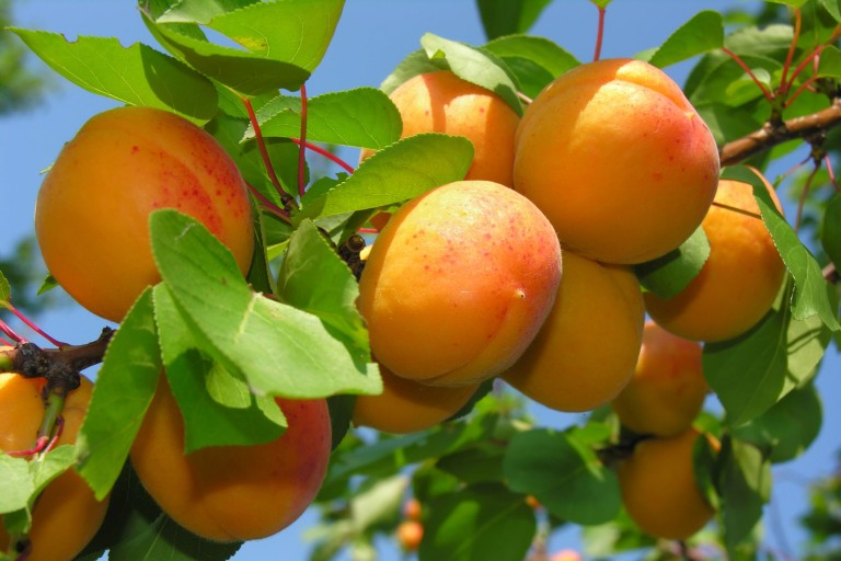 apricot-poisoning