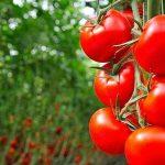 Proizvodnja paradajza u plastenicima