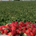 Prolećna sadnja jagoda ( prednosti i mane )