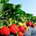 Kako pokrenuti proizvodnju jagoda (sve na jednom mestu)